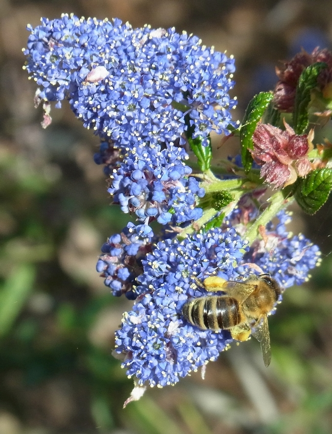Honey bee on 'Ray Hartman' ceanothus.  Note the pink color of the unopened flower buds.