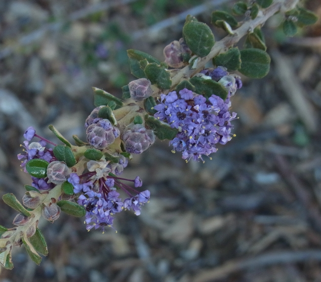 Ceanothus 'Valley Violet' blooming this January in the Haven