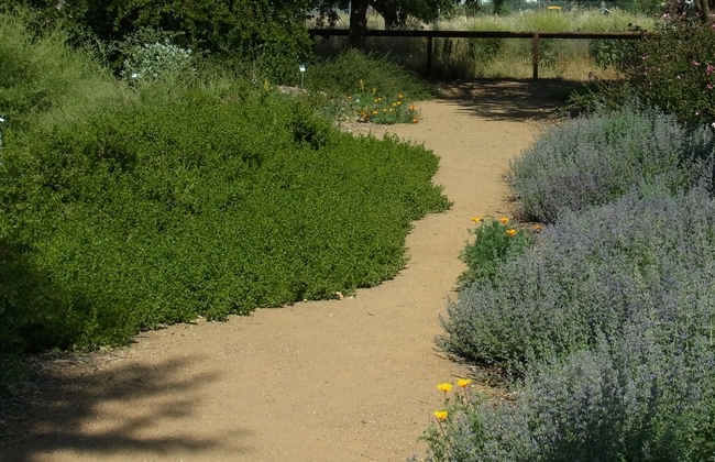 Large patches of 'Walker's Low' hybrid catmint and 'Twin Peaks' coyote brush.