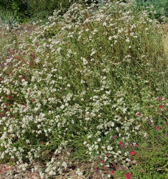 California buckwheat in full bloom