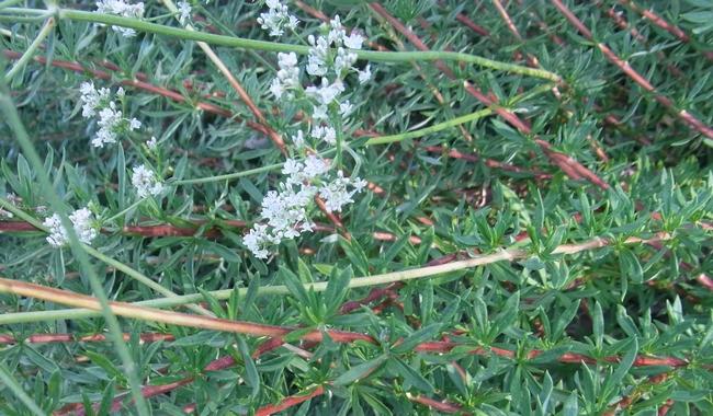 California buckwheat foliage