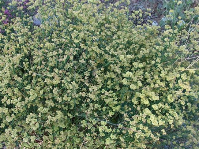 Naked buckwheat in full bloom