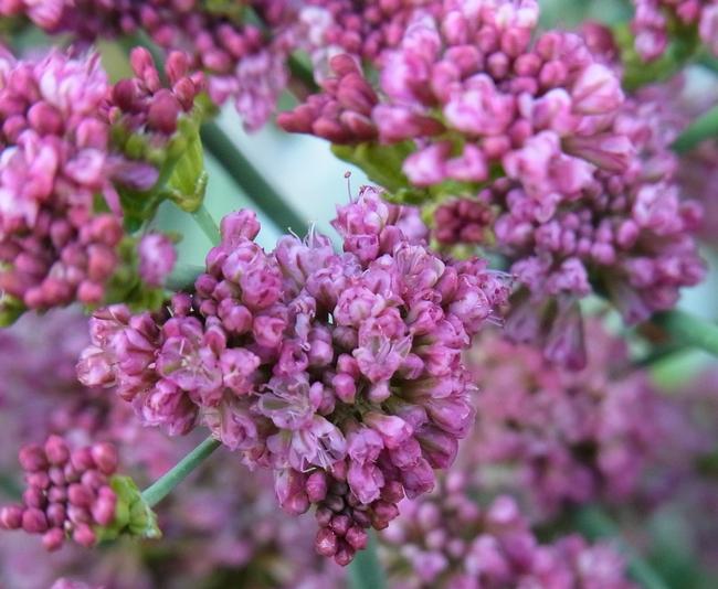 Red buckwheat flower