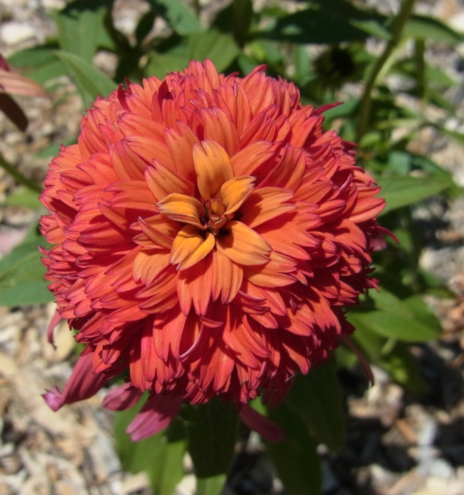 Coneflower 'Hot Papaya' flower