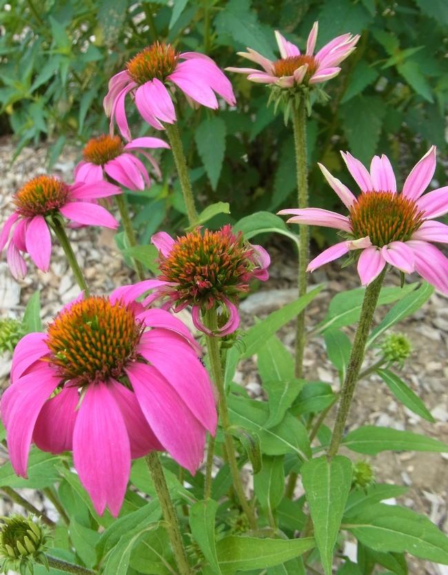 Coneflower 'Magnus' simple flowers