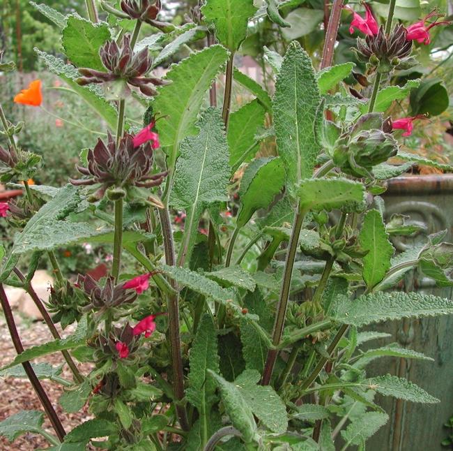 Hummingbird sage flowers