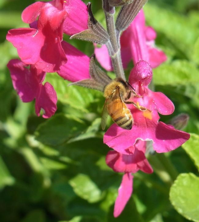 Honey bee on 'San Carlos Festival' sage