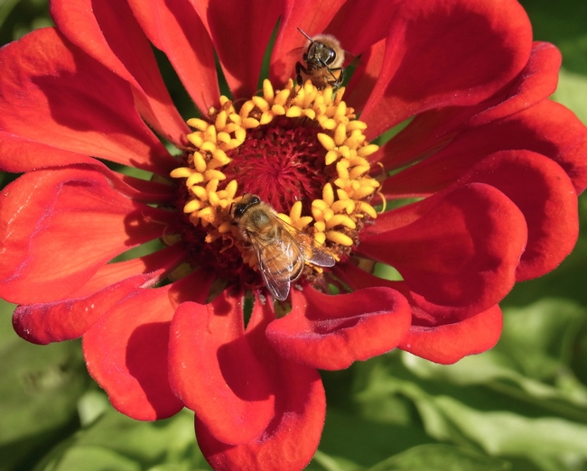 Honey bees on zinnia