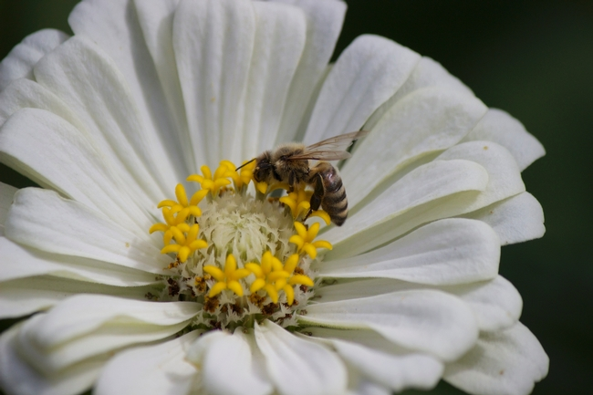 Honey bee on white zinnia