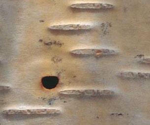 Bronze birch borer exit hole