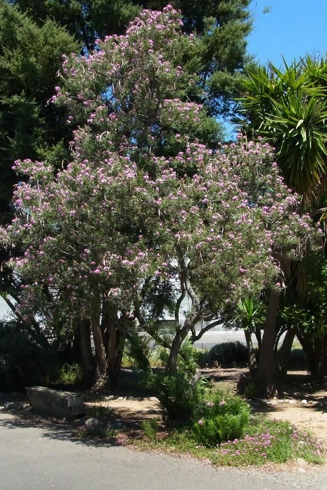 Desert willow in full bloom