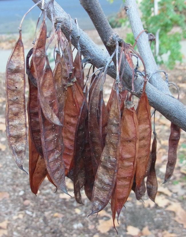 Desert willow seed pods