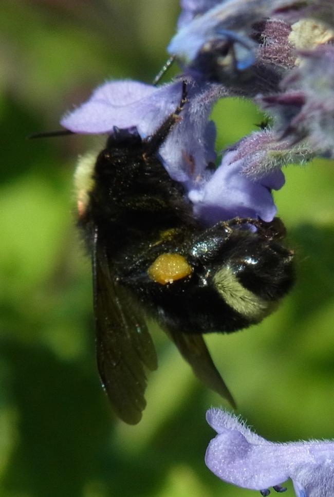 Yellow-faced bumble bee at Nepeta 'Walker's Low'