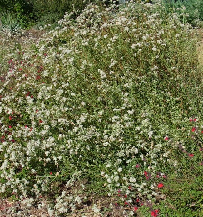 California buckwheat is a very low-water plant used by both bees and insect natural enemies