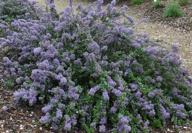 Ceanothus 'Valley Violet'