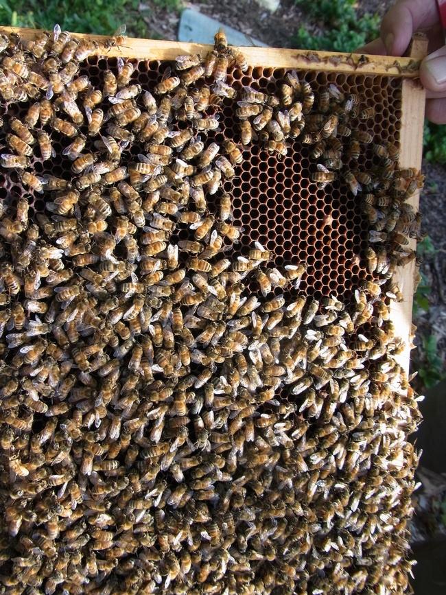Full frame of bees