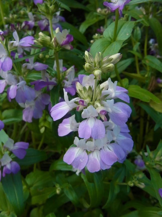 Collinsia heterophylla in bloom