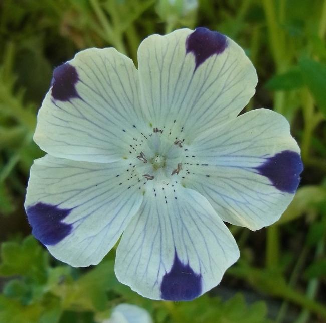 Five spot in bloom