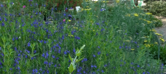 Salvia 'Purple Ginny' and 'Moonshine' yarrow