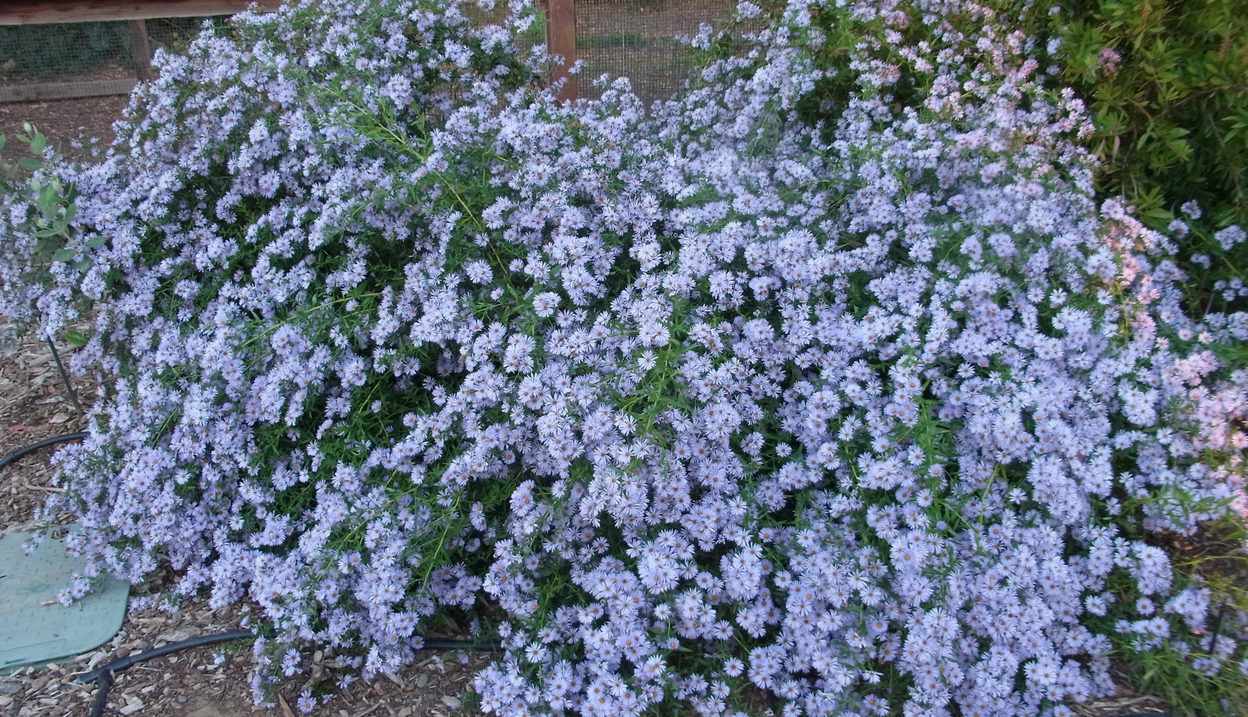 Five Great Asters For The Fall Bee Garden The Bee Gardener Anr Blogs