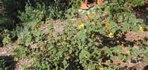Fremontodendron 'Ken Taylor' one year after planting for The Bee Gardener Blog