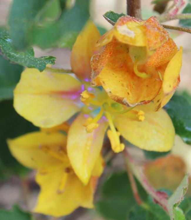 Fremontodendron under UV light showing fluorescent nectar