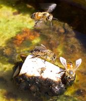 Honey bees perch on a cork to drink. Notice the algae and leaf litter that has accumulated in the water. Essential bee nutrients leach from this material into the water.