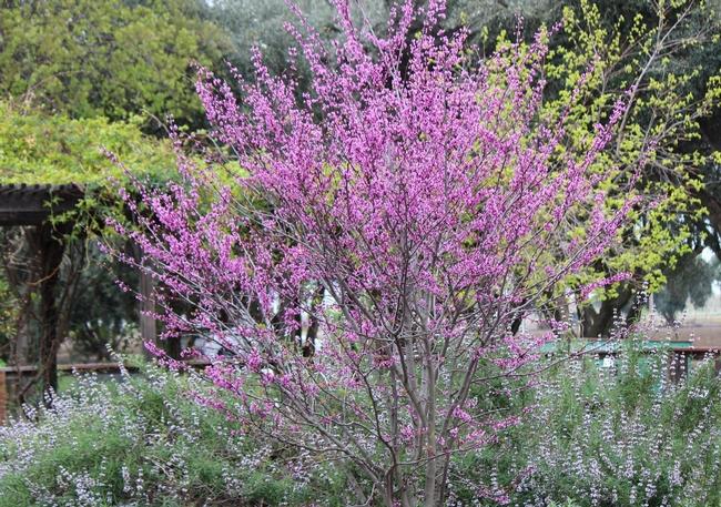 Western redbud blooming