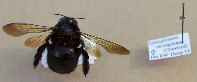 The largest and smallest bees in the Haven