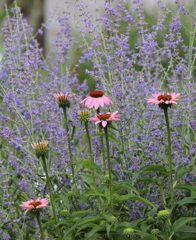 Russian sage and coneflower