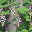 Chaparral currant, <I>Ribes malvaceum</i> 'Dancing Tassels'
