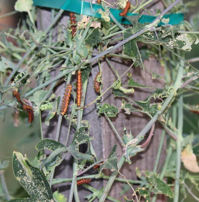 Gulf fritillary caterpillars consuming passion vine leaves