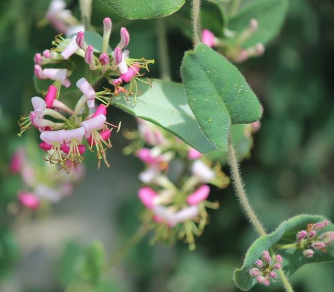 California honeysuckle flowers