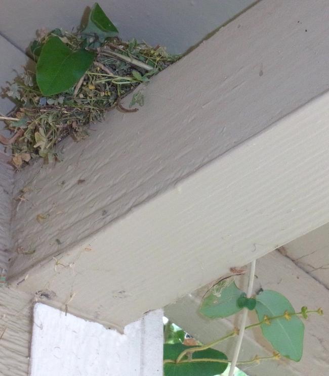 Bird's nest using California honeysuckle