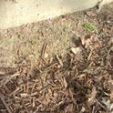 Stop mulch short of a building foundation to leave bare soil for bees