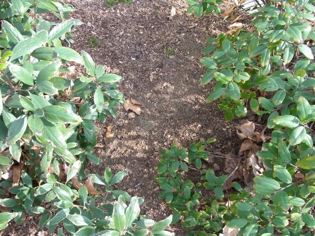 Bare soil can be left between mature shrubs to provide bee nesting habitat
