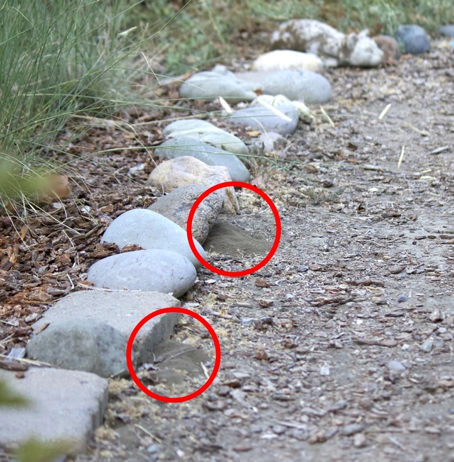 Bees will nest along straight lines or under the shade of rocks. The two small piles of soil next to the stones were excavated by bees to create their nests.