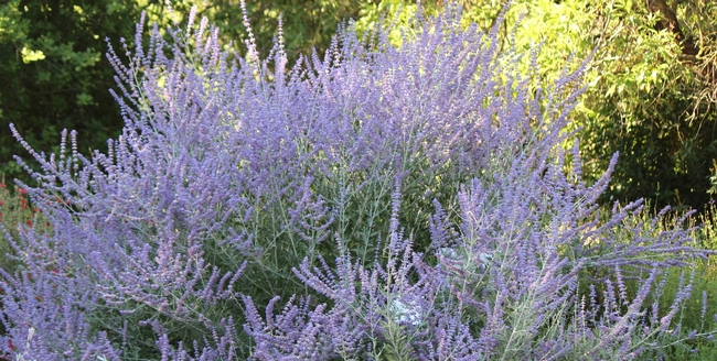 Russian sage plant in bloom