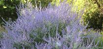 Russian sage, <i>Salvia yangii</i>, provides long bloom with minimal water for The Bee Gardener Blog