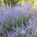 Russian sage, <i>Salvia yangii</i>, provides long bloom with minimal water