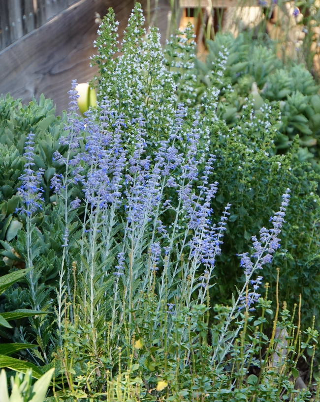 Russian sage 'Little Spire' and calamint