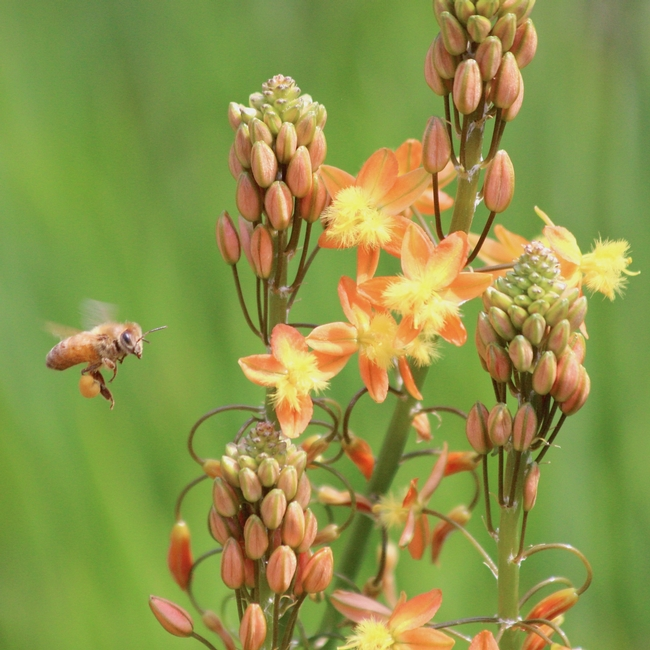 Honey bee with pollen approaches Bulbine frutescens