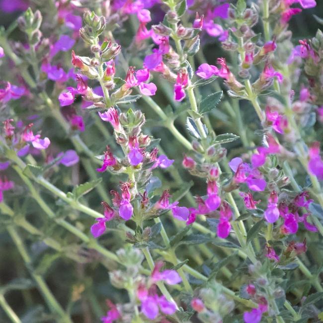 Teucrium chamaedrys flowers