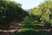 citrus cover crop