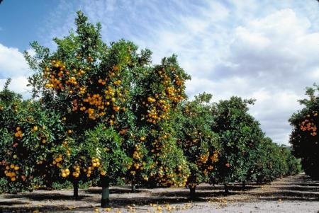 There is hope for citrus. Researchers in our state, nation and around the world are working towards a solution to the ACP-HLB pest disease complex. Photo by J.K. Clark.