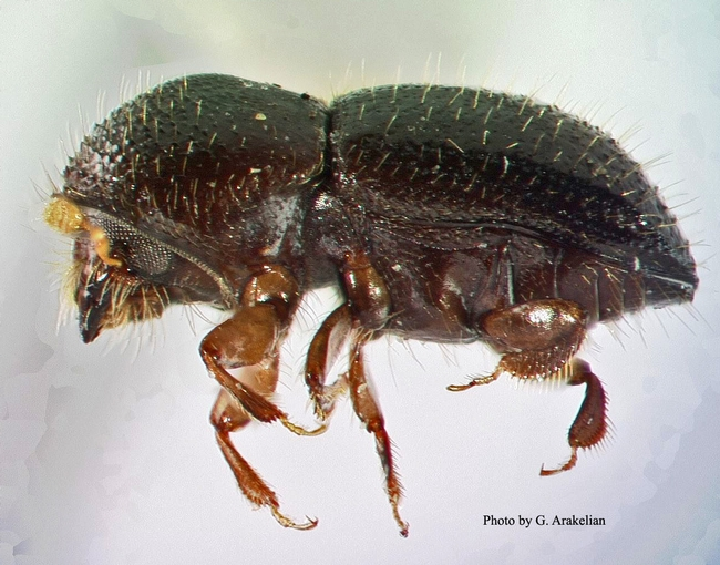 Tea Shot Hole Borer (Euwallacea fornicatus). The pest is about the length of Lincoln's nose on a penny. Photo by G. Arakelian.