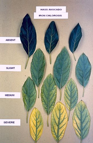 avocado chlorosis