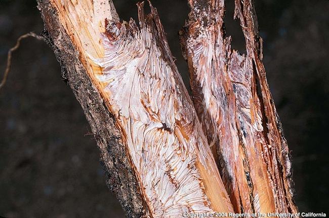 armillaria image 2