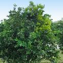 HLB citrus