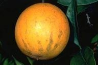 citrus tear stain